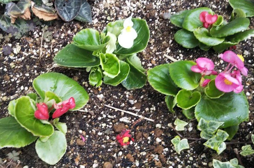 ガーデニング初心者が育てるおススメの花